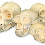 category3 family 34 large 150x150 - Ultimate Skull Reference Images Pack