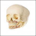 skull dental 150x150 - Ultimate Skull Reference Images Pack