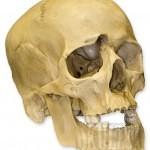 variants large 3615 150x150 - Ultimate Skull Reference Images Pack
