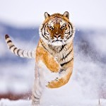 Tigers Rferences 10 150x150 - Ultimate Animals Airbrush Reference Images Pack