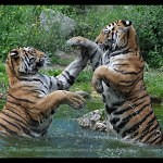 Tigers Rferences 123 150x150 - Ultimate Animals Airbrush Reference Images Pack