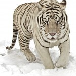 Tigers Rferences 149 150x150 - Ultimate Animals Airbrush Reference Images Pack