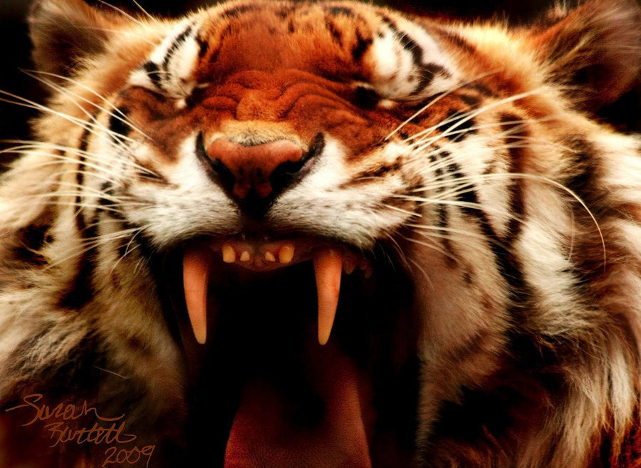 Tigers Rferences 22 - Ultimate Animals Airbrush Reference Images Pack