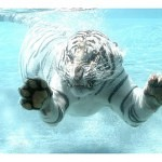 Tigers Rferences 32 150x150 - Ultimate Animals Airbrush Reference Images Pack