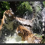 Tigers Rferences 41 150x150 - Ultimate Animals Airbrush Reference Images Pack