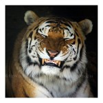 Tigers Rferences 44 150x150 - Ultimate Animals Airbrush Reference Images Pack