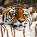 Tigers Rferences 54 150x150 - Ultimate Animals Airbrush Reference Images Pack