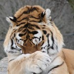 Tigers Rferences 56 150x150 - Ultimate Animals Airbrush Reference Images Pack
