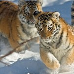 Tigers Rferences 66 150x150 - Ultimate Animals Airbrush Reference Images Pack