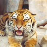 Tigers Rferences 73 150x150 - Ultimate Animals Airbrush Reference Images Pack