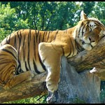 Tigers Rferences 97 150x150 - Ultimate Animals Airbrush Reference Images Pack