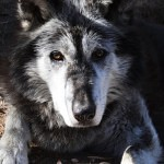 wolf reference 15 150x150 - Ultimate Animals Airbrush Reference Images Pack