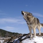 wolf reference 45 150x150 - Ultimate Animals Airbrush Reference Images Pack