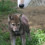 wolf reference 7 150x150 - Ultimate Animals Airbrush Reference Images Pack